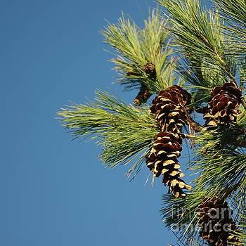 Pine cones and branches against a blue autumn sky by R V James