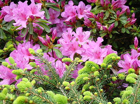 Baslee Troutman - Pine Conifer Pink Azaleas 30 Summer Azalea Flowers Giclee Art Prints Baslee Troutman