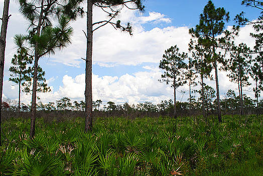 Pine Flatwoods by Steven Scott