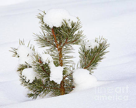 Pine in Snow by Jerry Fornarotto