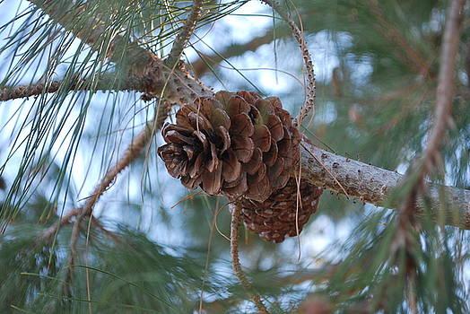 Pine by Jessica Saenz