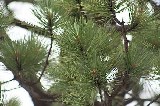Pine by Jodi Vetter