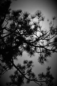Pine Light by David S Reynolds