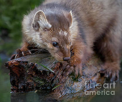 Pine Marten on Log by Jerry Fornarotto