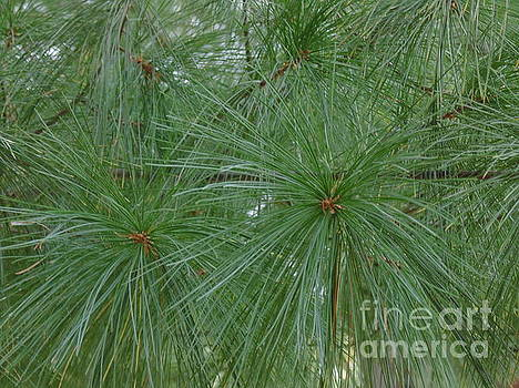 Pine Needles by Daun Soden-Greene