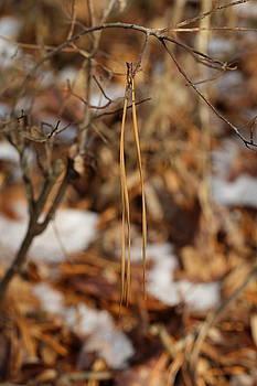 Pine Needles in Winter by David Hand