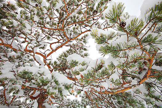Pine tree branches covered with snow by Ulrich Kunst And Bettina Scheidulin