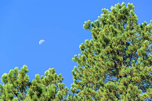 Pine Tree Moon by Jess Kraft