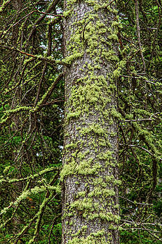 Pine Tree Moss by James BO Insogna