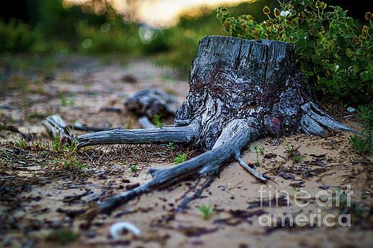 Pine Tree Stump Cadiz Bay Natural Park Spain by Pablo Avanzini
