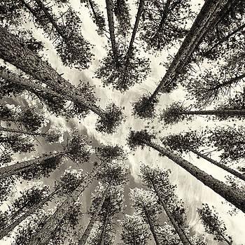 Pine Tree Vertigo - Square Sepia by Adam Pender