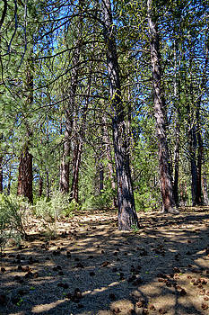 Pine Trees Forest Near Chiloquin, Oregon by David Crockett