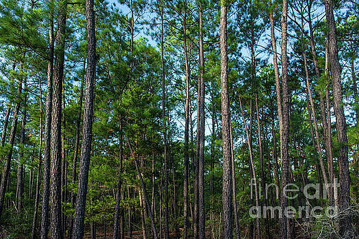 Billy Moore - Pine Trees Horizontal