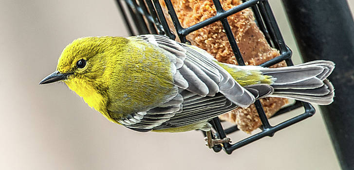 Pine Warbler on Feeder by Jim Moore