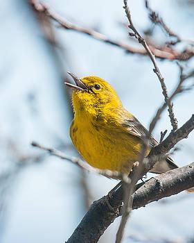 Lara Ellis - Pine Warbler Spring Song