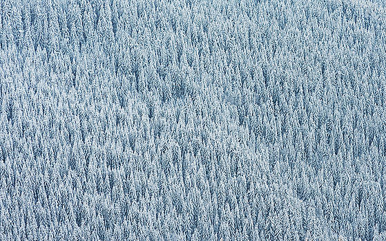 Pine winter forest texture by Sergey Ryzhkov
