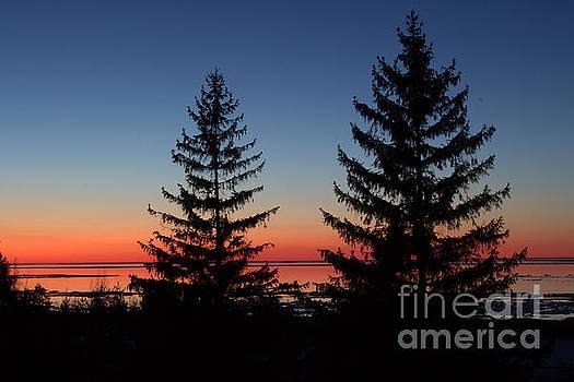 Pines Icy Bliss by John Scatcherd