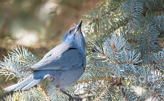 Pinion Jay by Gary Beeler