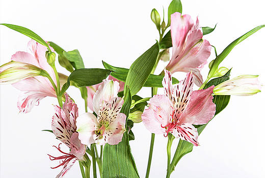 Pink Alstroemeria on the white background by Sergei Dolgov