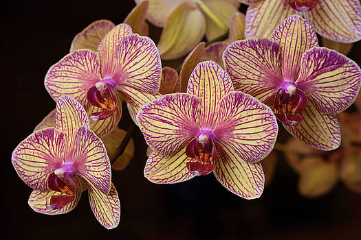 Reimar Gaertner - Pink and cream Phalaenopsis Kaleidoscope Candy Stripe Moth orchi