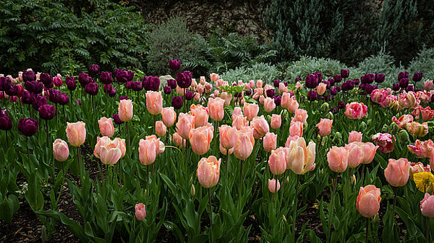 Rick Strobaugh - Pink and Purple Tulips