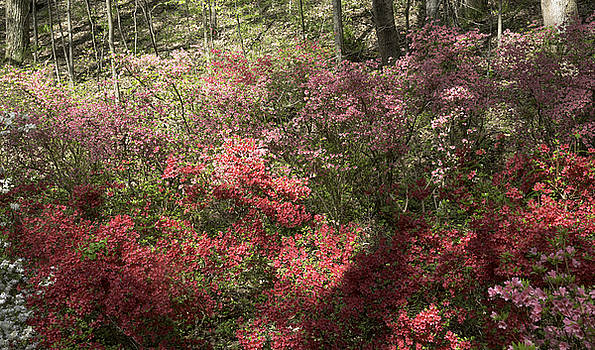 Teresa Mucha - Pink and Red Azaleas at Happy Hollow Gardens