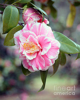 Pink and White Camellia by Catherine Sherman
