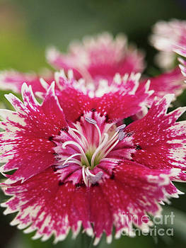 Pink And White Dianthus Macro by Dorothy Lee