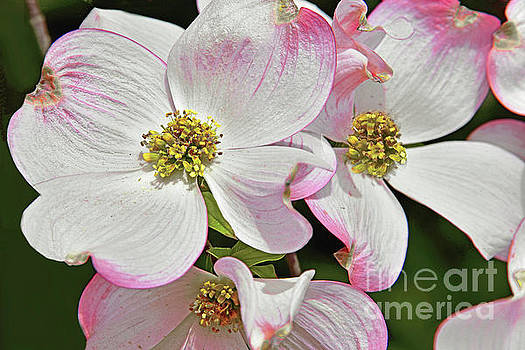 Regina Geoghan - Pink and White Dogwood Blossoms