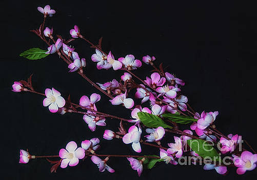 Pink and White Flowers on Black by Scott Hervieux