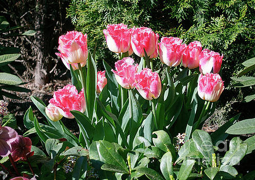Pink and white fringed tulips by Louise Heusinkveld