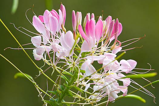 Pink and White by John Holloway