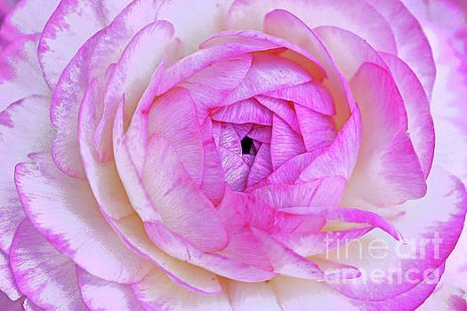 Regina Geoghan - Pink and White Ranunculus Flower