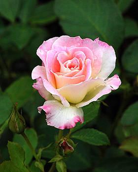 Edward Sobuta - Pink and White Rose