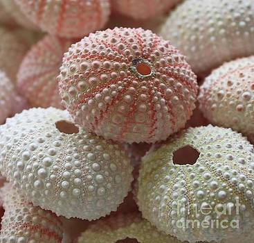 Paulette Thomas - Pink and White Sea Urchins