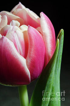 Pink and White Tulip Nature Photo Still Life by Melissa Fague