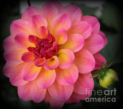 Pink and Yellow Dahlia  by Dora Sofia Caputo Photographic Art and Design