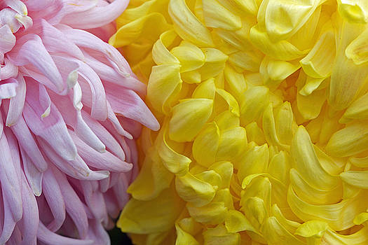 Pink and Yellow Mums by Jim Gillen