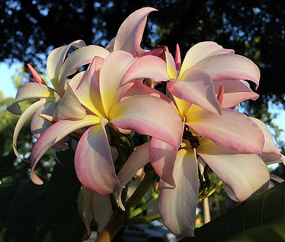 Pink and Yellow Plumerias by Bonnie Davidson