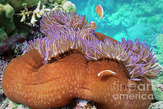 Pink anemonefish and Magnificent Sea Anemone by Carl Chapman