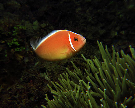 Pink Anemonefish, Indonesia 1 by Pauline Walsh Jacobson