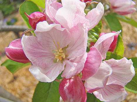 Baslee Troutman - Pink Apple Blossoms art prints Spring Floral Artwork Baslee Troutman