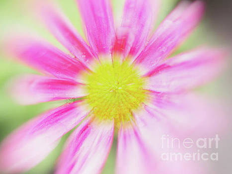Nick Biemans - Pink Aster Flower with raindrops abstract