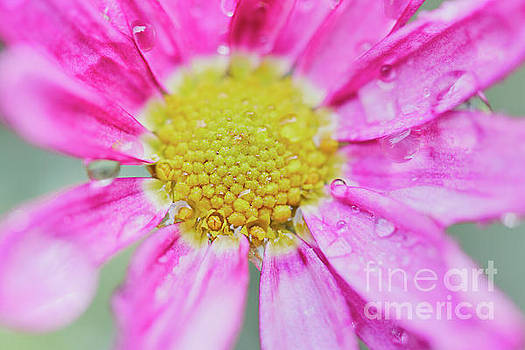 Nick Biemans - Pink Aster Flower with raindrops