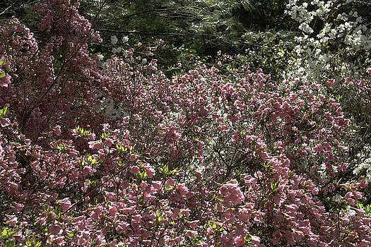 Teresa Mucha - Pink Azaleas Blooming at Happy Hollow Park