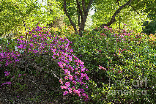 Pink Azaleas by Iris Greenwell