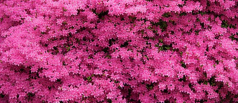 Jill Lang - Pink Azaleas Panorama