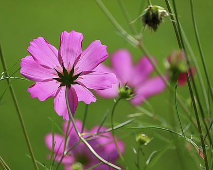 Pink Beauty by Doris Potter