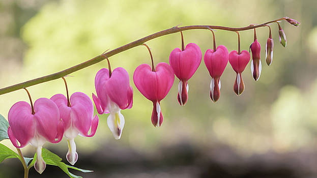 Pink Bleeding Hearts Vine by Terry DeLuco