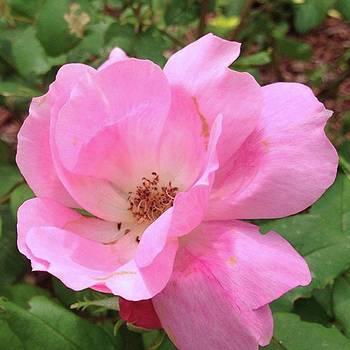 Pink Bloom no Edit / No Filter by Lisa Pearlman